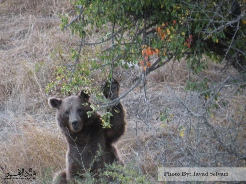 خرس قهوهای هیچ خطری برای شما ندارد و با کمک راهنمایتان میتوانید این حیوان را هم ببینید.