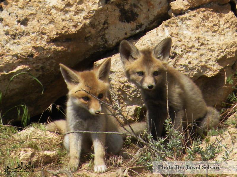 روباه معمولی در دشت میرزا بایلو-هر لحظه ممکن است یکی از این کوچولوهای دوست داشتنی سر راه شما قرار گیرد