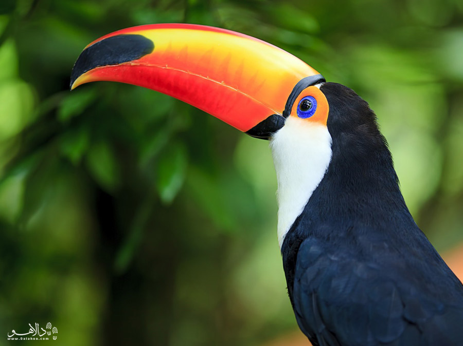 توکان، پرندهی آمازون