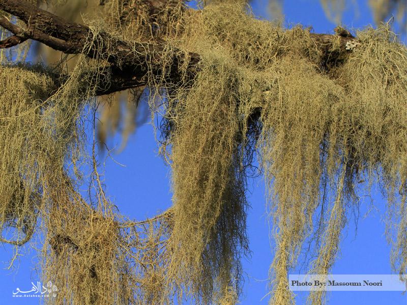 لیچنهای درختان