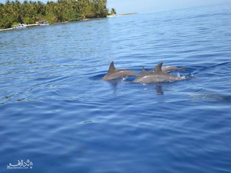 دلفینهای مالدیو