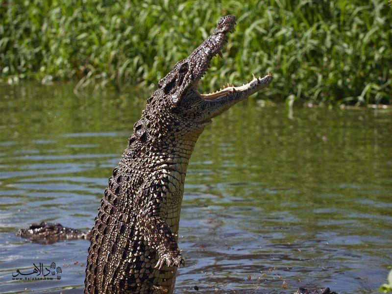 تمساح کوبایی