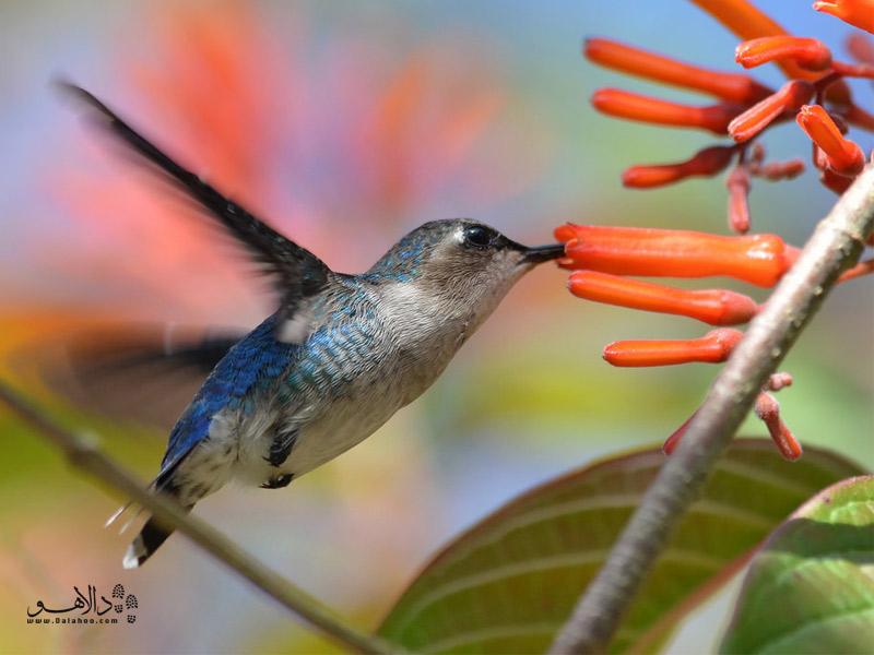 پرنده مگسخوار-کوبا