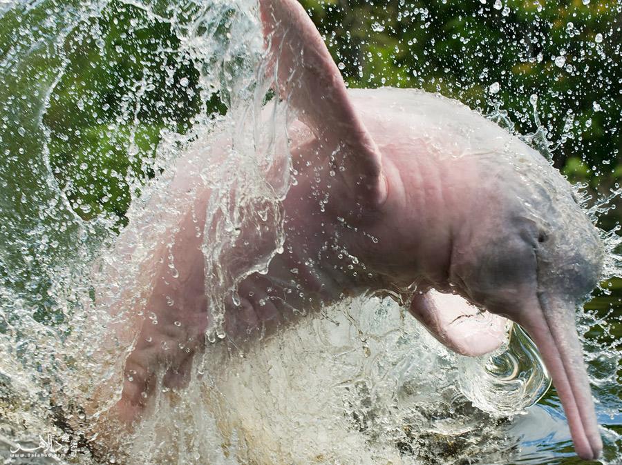 دلفین صورتی آمازون